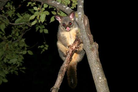 possum: Australia common brushtail possum