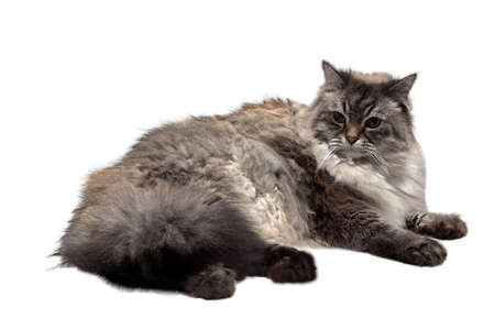 corpulent: Amusing domastic fluffy  Siberian cat Stock Photo