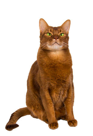 cat isolated: abyssinian sorrel domestic cat isolated