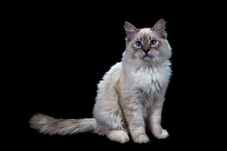 funny little blue-eyed white cat, isolated on black