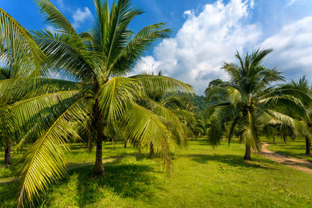 date palm: palm grove