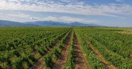Vineyards and the sky