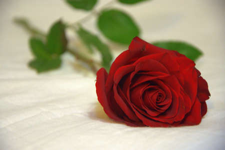 Red rose on a white background. Close up shot.