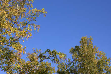 A look at the clear blue sky through tree branches. Picturesque landscape.