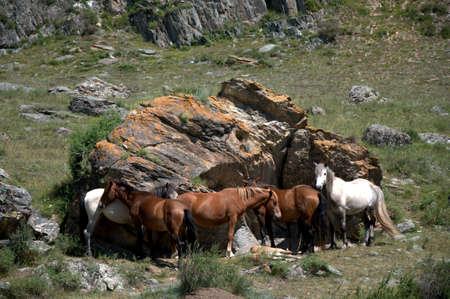 A group of horses of different colors settled down to rest by a large stone in a clearing at the foot of the mountain. Altai, Siberia, Russia. Фото со стока