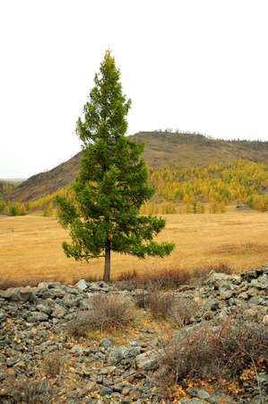 A tall pine tree grows in the middle of the steppe, punching through the embankment of stones. Altai, Siberia, Russia.