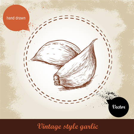 garlic clove: Vector hand drawn illustration with spice garlic clove isolated on  grunge old background. Organic food  illustration