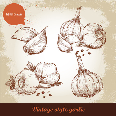 Vector hand drawn garlic set. Vintage retro background with hand drawn sketch garlics. Herbs and spices vector illustration