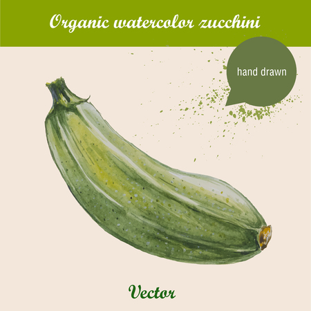 Watercolor zucchini. Hand drawn illustration on white background. Vector organic food.