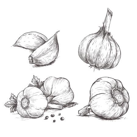 Vector disegnata a mano set di aglio. Erbe e spezie schizzo illustrazione