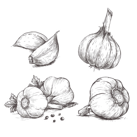 Vector hand drawn set of garlic. Herbs and spices sketch illustration Фото со стока - 58572857