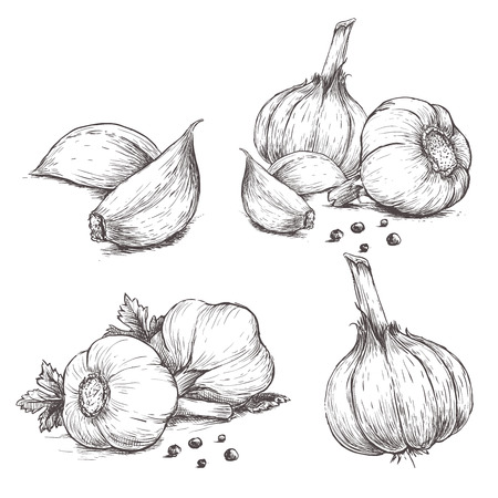 벡터 손으로 그려진 된 집합 마늘의. 허브와 향신료 스케치 그림