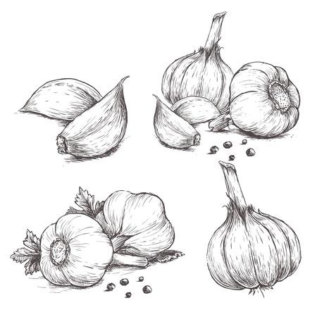 Vector disegnata a mano set di aglio. Erbe e spezie schizzo illustrazione Vettoriali