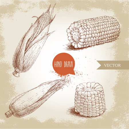 sweetcorn: Hand drawn sketch style set of corn vegetable. Corncob with leafs. Organic cereal vector illustration. Sweetcorn food.