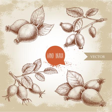Dibujado a mano conjunto de ilustraciones de rosetas de estilo boceto. Rama con bayas y hojas. Ilustración de vector de salud de la vendimia.