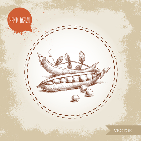 Hand drawn sketch pea pod group with leafs. Vector organic food illustration on grunge vintage background.