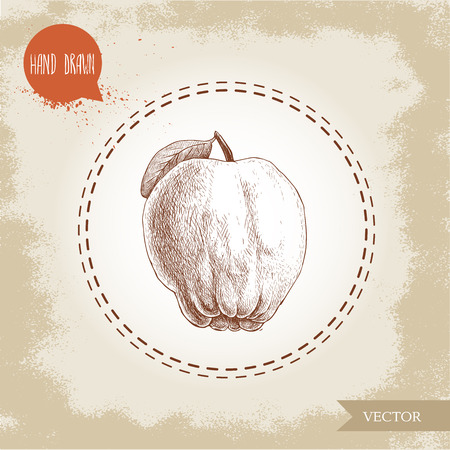 Hand drawn sketch style illustration of quince apple . Vector fruit illustration. Illustration