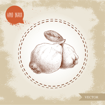 Hand drawn sketch style illustration of quinces with leaf. Vector fruit illustration.