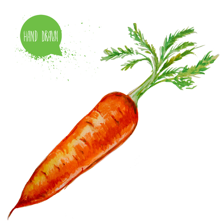 Hand drawn and painted watercolor ripe carrot with leafs