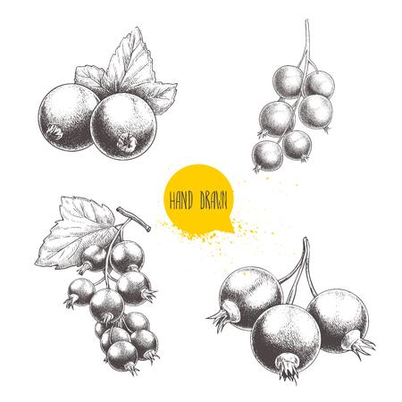 Dibujado a mano grosella negro conjunto de conjunto. grosellas manojo negro con hojas. bayas de la selva aisladas . el fondo blanco . Foto de archivo - 78019827