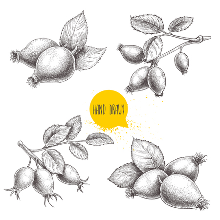 Hand drawn set of sketch style rose hips illustrations. Branch with berries and leafs. Health vector illustration isolated on white background.