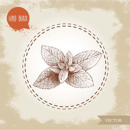 hand drawn sketch style mint branch. Healthy herb vector illustration. Peppermint leafs. Illustration