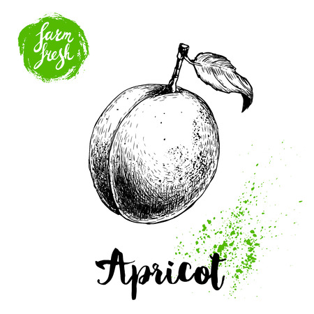 Hand drawn ripe apricot isolated on white background. Retro sketch style vector eco food illustration poster.