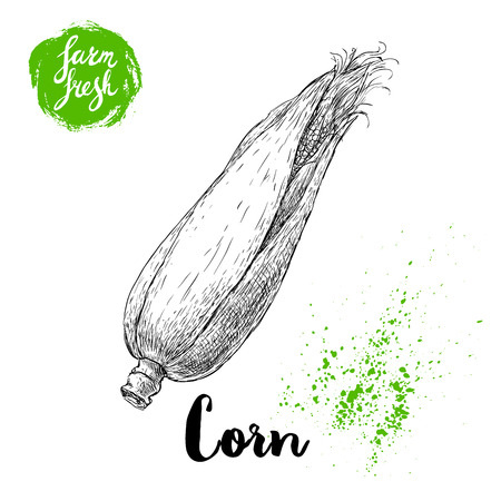 Hand drawn sketch style corn vegetable. Corncob with leafs and seeds. Farm fresh cereal vector illustration. Bio food.