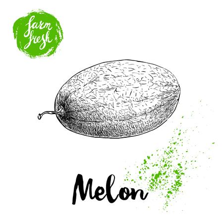 手描きスケッチ スタイル メロンのファーム新鮮な食品のベクトル図、白地に分離されました。  イラスト・ベクター素材