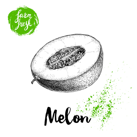 手描きスケッチ スタイル メロン半分は白い背景のファーム新鮮な食品のベクトル図に分離されました。  イラスト・ベクター素材