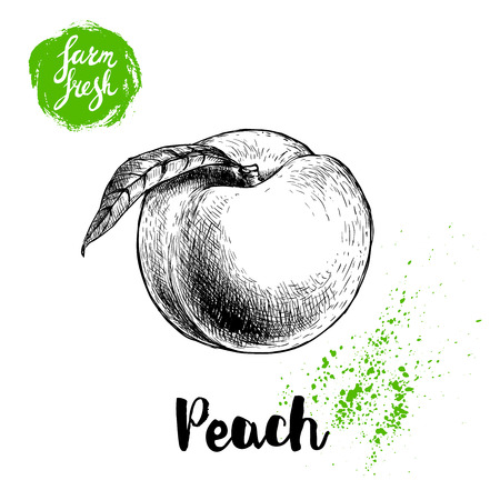 Hand drawn sketch style peach fruit. Vector illustration of fresh farm food. Ilustração