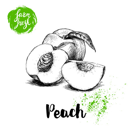 Hand drawn sketch style peach fruit. Farm fresh eco food vector illustration. Ripe peach, peach slices.