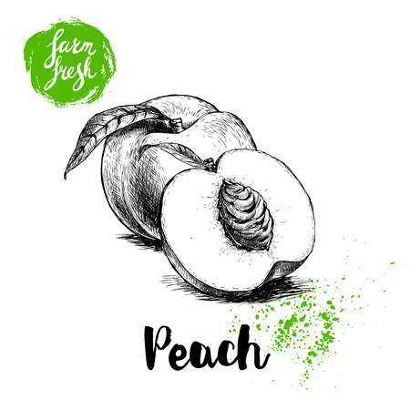 Hand drawn sketch style peach fruits composition. Farm fresh eco food vector illustration. Ripe peach, peach slice. Ilustração