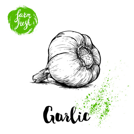 Hand drawn sketch whole garlic. Fresh farm food vector illustration. Farm vegetables poster.
