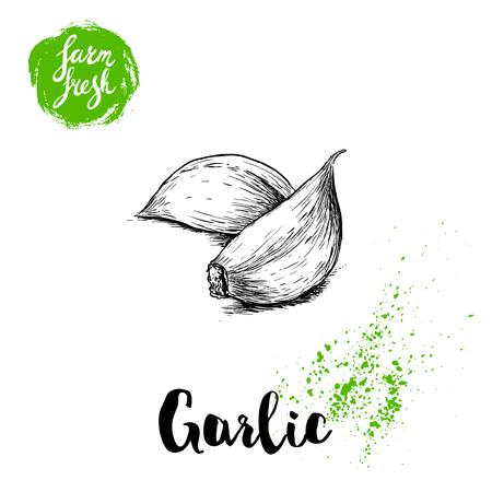 Hand gezeichnete Skizze Knoblauchzehen. Frische Bauernhof-Lebensmittel-Vektor-Illustration. Bauernhof Gemüse Poster. Vektorgrafik