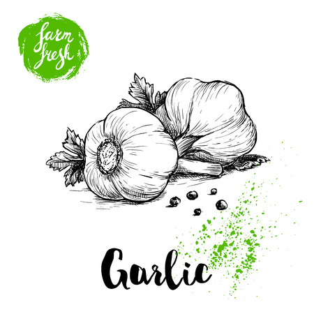 Hand drawn sketch garlic group with parsley leafs and black pepper. Fresh farm food vector illustration. Farm vegetables poster.