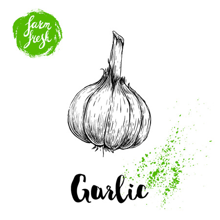 Hand drawn sketch whole garlic illustration for vegetables poster.