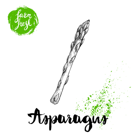 Hand drawn sketch style single asparagus sprout. Eco food vector illustration isolated on white background.