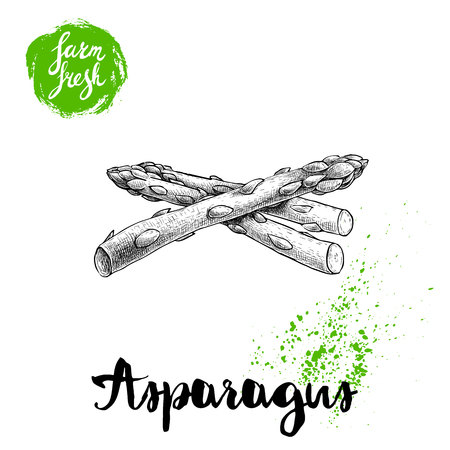 Hand drawn sketch style asparagus sprouts. Eco food farm fresh vector illustration on white background.