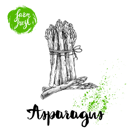 Hand drawn sketch style asparagus bunch. Organic food farm fresh vector illustration isolated on white  background.