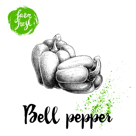 Hand drawn illustration of whole bell peppers. Sketch style vector capsicums. Health eco food fresh farm drawing isolated on white background. Illustration