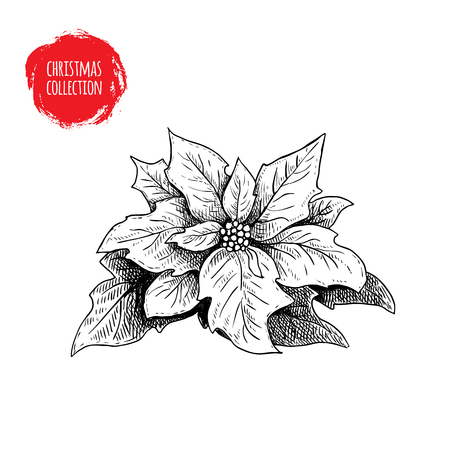 Hand drawn sketch poinsettia. Christmas seasonal flower. Winter holiday symbol. Vector illustration isolated on white background.