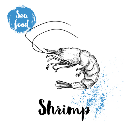 Hand drawn sketch shrimp isolated on white. Seafood vector illustration. Prawn.