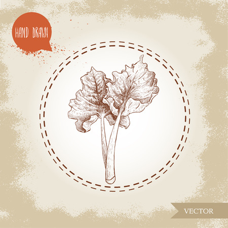 Hand drawn sketch style rhubarb bunch with leaves. Organic food component vector illustration.