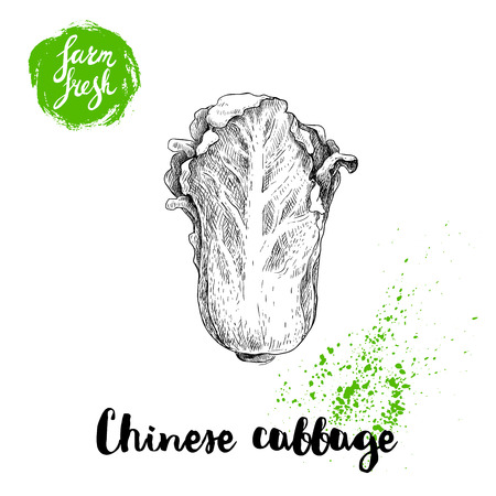 Hand drawn sketch style of chinese cabbage poster. Vintage looking vegetable isolated on white background. Vector farm fresh illustration.