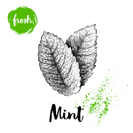 Hand drawn sketch style mint leaves. Healthy herb vector. Peppermint illustration isolated on white background.