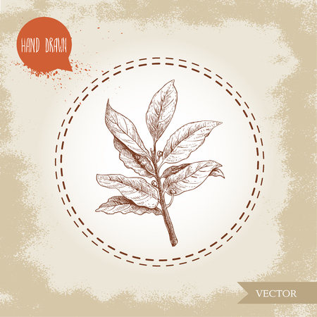Hand drawn sketch style bay leaves branch with seeds. Spices, condiments, aroma medicine vector illustration isolated on old background.