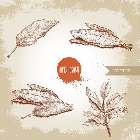 Hand drawn sketch style bay leaves set. Collection of herbs and condiments. Vector illustrations. Иллюстрация