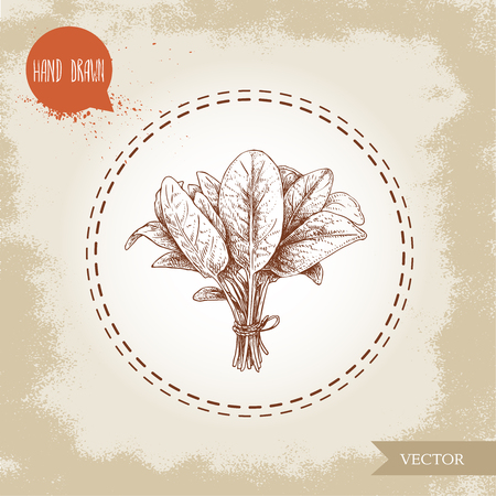 Hand drawn sketch style spinach leaves bunch. Organic diet food vector illustration isolated on old background. Farm fresh herbal product.