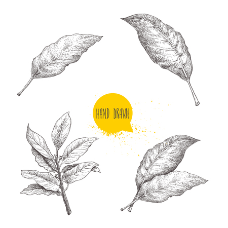 Hand drawn sketch style bay leaves set. Collection of herbs and condiments. Vector illustrations isolated on white background.